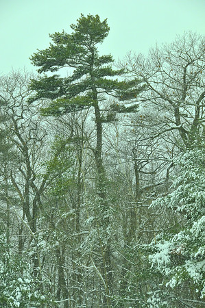 Eastern White Pine (Pinus strobus) in winter. Here co-dominant with Northern Red Oak (Quercus rubra) in a mixed hardwood stand type in Southern Maine. Riverside Street, immediately behind the fence at the Little League North baseball field.