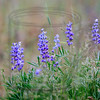 No trouble focusing on the lupine; plenty of contrast with the background.