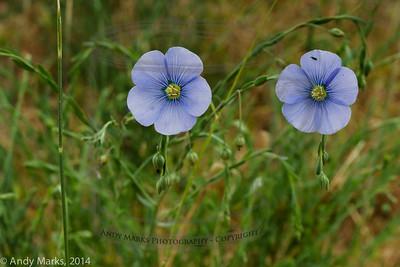 blue flax?