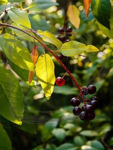 "Chokecherry branch that greets people entering our front door - III  (august: ""moon of cherries ripening"", Marie Sandoz)"