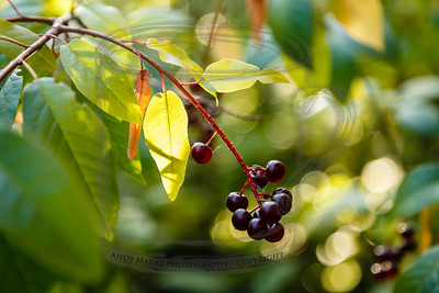 "Chokecherry branch that greets people entering our front door - II  (august: ""moon of cherries ripening"", Marie Sandoz)"