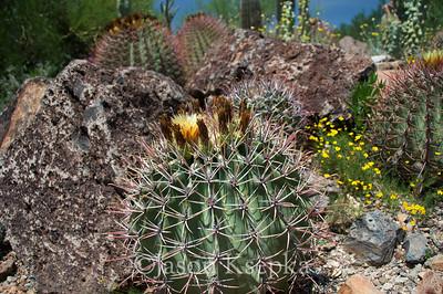 Cactus; Pima County, Sonoran Desert Museum, Tucson, Arizona 7-31-08 3