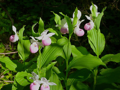 Showy Lady's-slipper