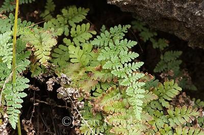 Cheilanthes alabamensis, Alabama Lip Fern; Bibb County, Alabama 2015-11-10   1