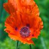 Oriental Poppy (Papaver Orientale) Hierloom flower, Colonial Garden, Colonial Williamsburg, Virginia