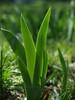 Back-lit Iris Leaves