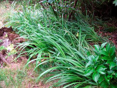 Lily Grass