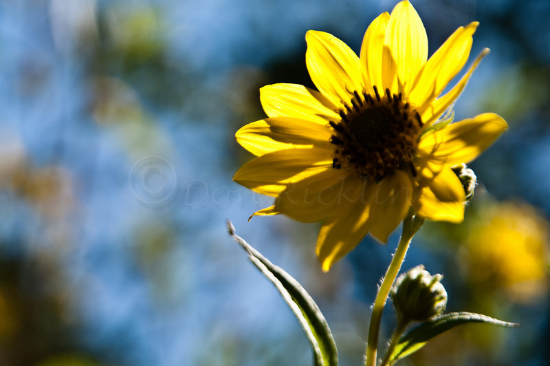 Sunflower, back lit!<br /> <br /> and nice bokeh!