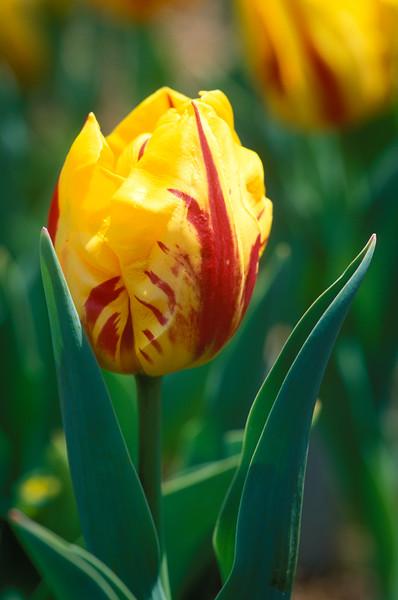 Tulip - Striped Bellona, Meadowlark Gardens, Vienna, Virginia