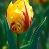 Tulip - Striped Bellona, Meadowlark Gardens, VA
