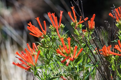 Bouvardia ternifolia, Firecracker Bush; Jeff Davis County, Texas 2014-07-26   3