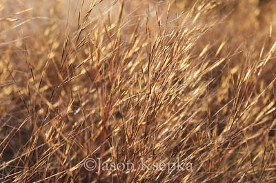 Aristida tuberculosa, Seaside Three-awn; Ocean County, New Jersey 2014-09-23   15