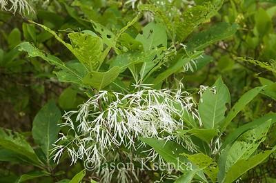 Chionanthus virginicus, fringe tree; Cumberland County, New Jersey 2017-05-21   3