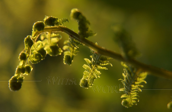 Fiddlehead fern