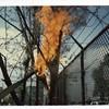 Tree on Fire (00448)