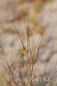 Aristida tuberculosa, Seaside Three-awn; Ocean County, New Jersey 2014-09-23   1