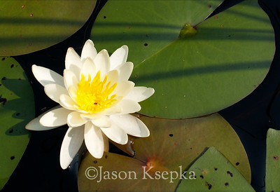 Nymphaea odorata, Fragrant Water Lily, Burlington County, New Jersey - 11