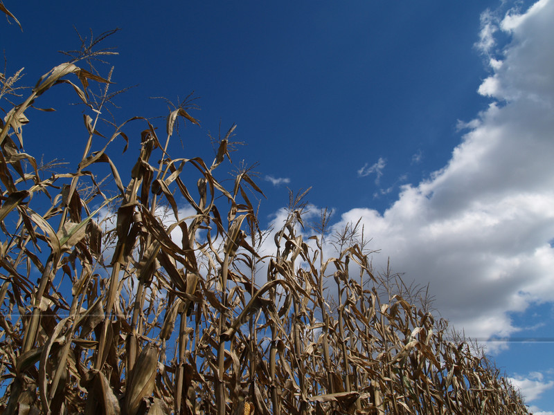 Row of Field Corn with Dramatic Clouds