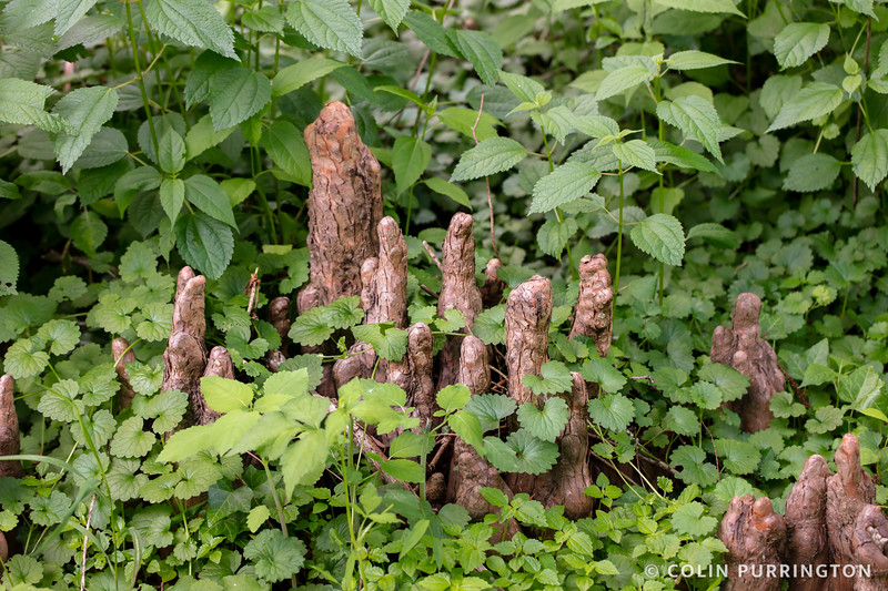 Bald cypress knees