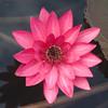 BB-000059.dng - Water Lily, Codrington College, St John Parish, Barbados