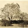 Magnolia (00096)