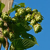 Gathering Brews Hops-6491
