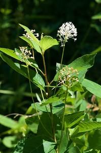 Ceanothus americana, New Jersey tea; Sussex County, New Jersey 2018-07-08   2