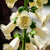Common Foxglove (Digitalis purpurea), Colonial Williamsburg, Virginia