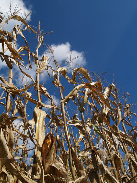 Dried Field Corn Stalks, Kutztown, PA