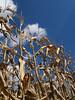 Dried Field Corn Stalks, Kutztown, PA