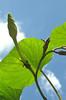 Moonflower vine (Ipomoea alba) reaches for sky... opens only at dusk. September, in Eastern PA garden.