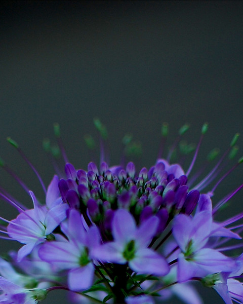 Purple Flower Series