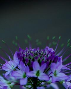 Purple Flower Series