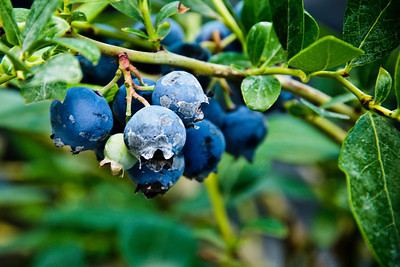 Blueberry Bush DSC1248