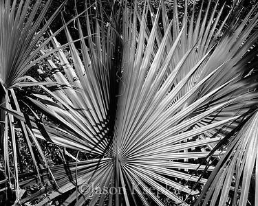 Sabal palmetto, Cabbage Palmetto; Alachua County, Payne's Prairie State Park, Micanopy, Florida  2006-03-28  #3