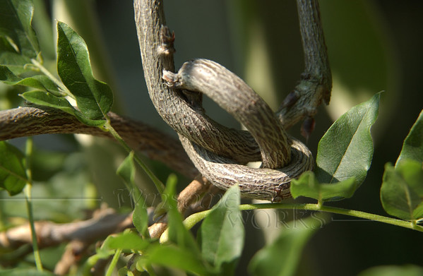 Knotted vine, NJ