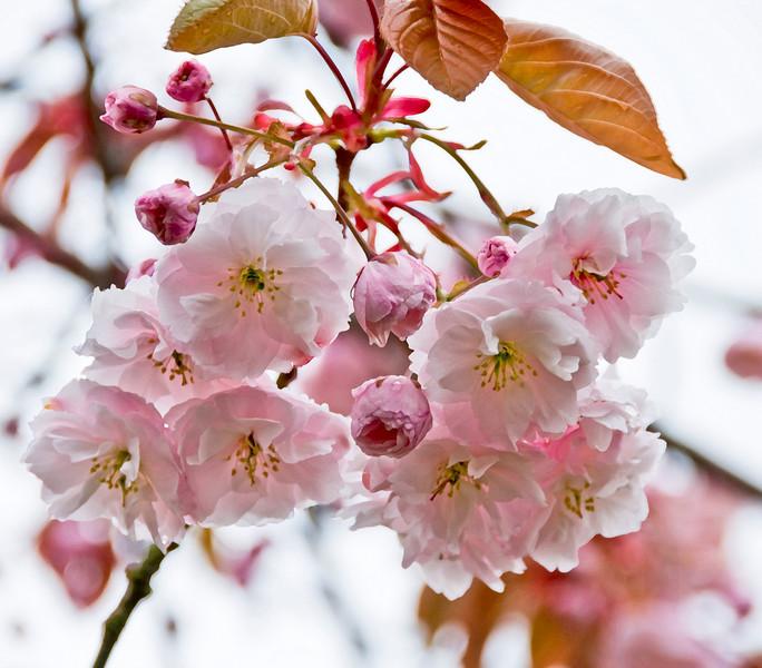 Cherry Blossoms on the Oregon Coast - April 2009