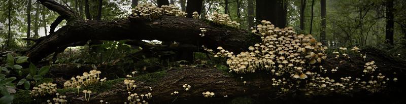 Panorama Fungi