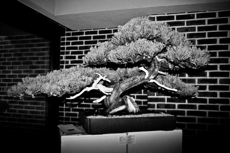 Very old and lovely Juniper Bonsai.  B&W Version<br /> Bonsai Society show at Towerhill Botanical