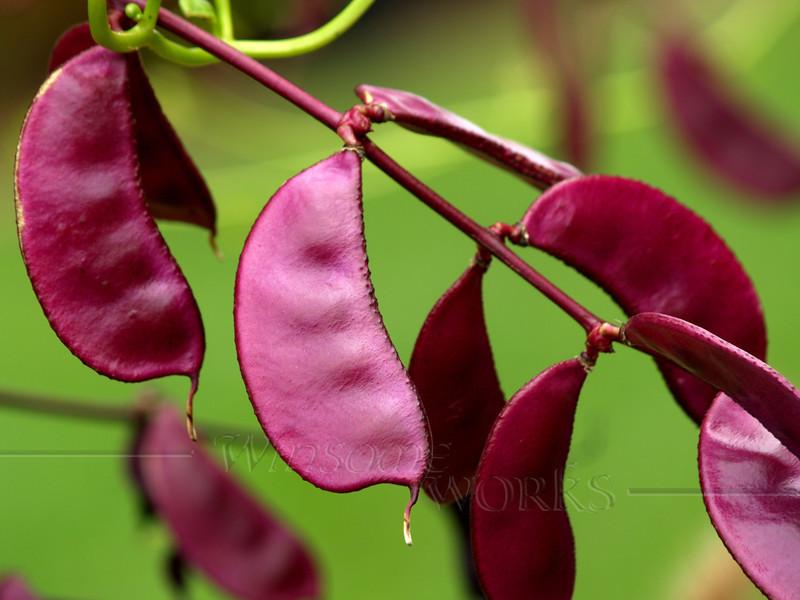 Purple hyacinth beans or Lablab purpureus in Ottsville, Pennsylvania  [FX]
