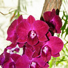 orchid, Historic Downtown District, Naples, Florida