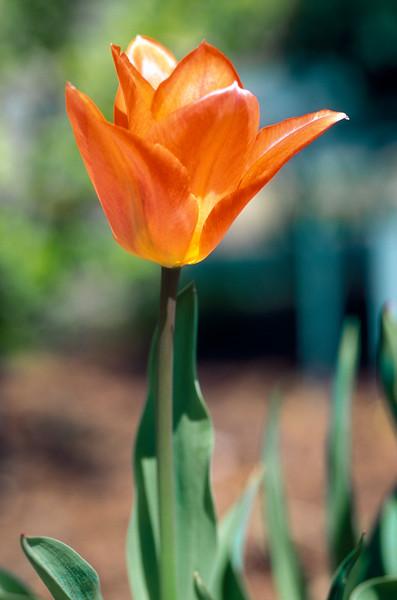 Tulip - Easter Surprise, Meadowlark Gardens, VA