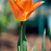 Tulip - Easter Surprise, Meadowlark Gardens, VA