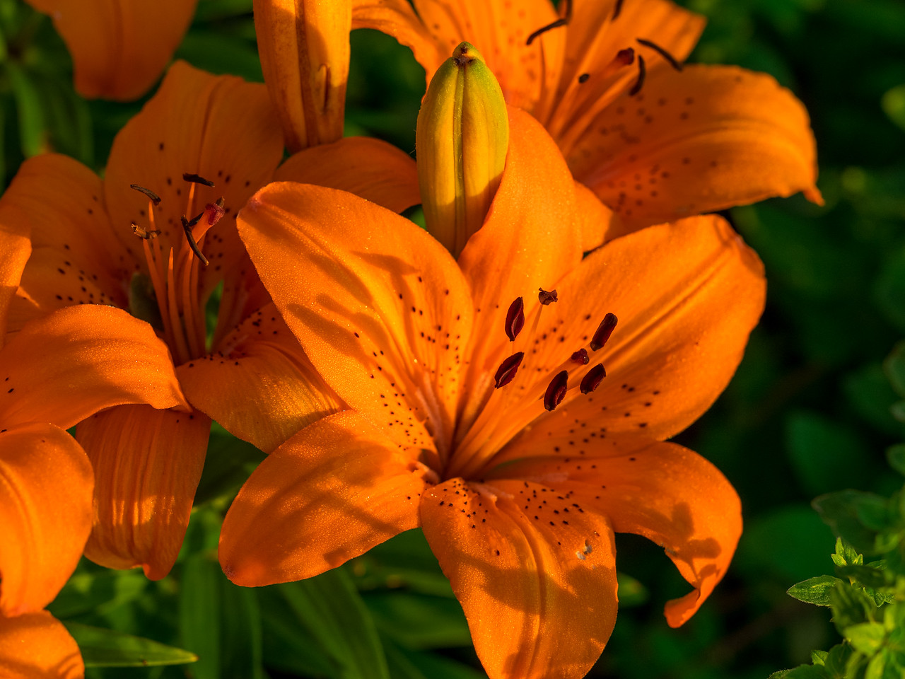 Daylilies at sunrise