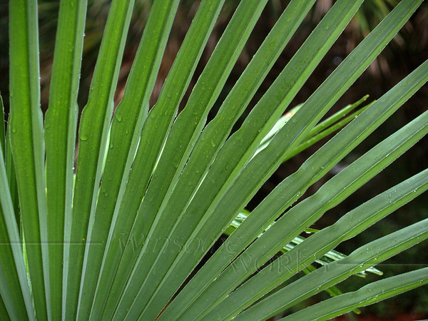 Dwarf palmetto in rain; Hunting Island