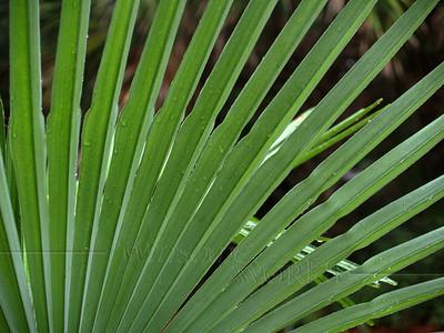 Dwarf palmetto in rain; Hunting Island