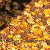 Falling_Leaf-163