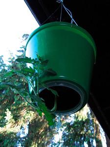 Upside-Down Tomato Plant