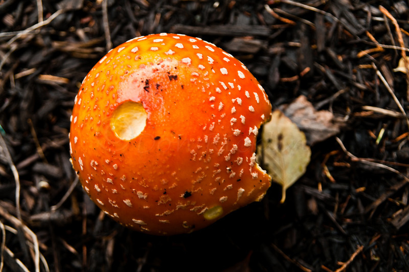 "Amanita Muscaria, or Fly agaric. ""Pacman"""