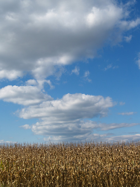 Crop of dried field corn in October, Kutztown, PA